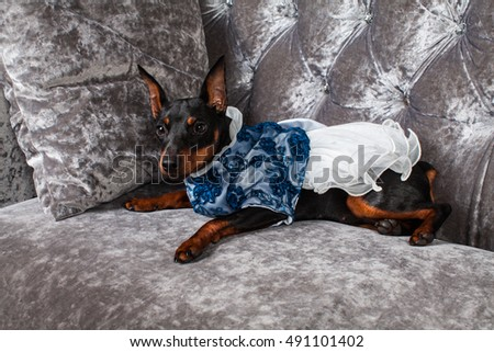 Miniature Doberman Pinscher Dog Dress Puppy Stock Photo Edit Now