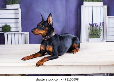 Miniature Doberman Pinscher. Dog on a purple background. Dog next to the flowers. Friend of human. Puppy.