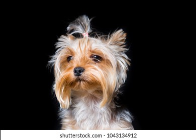 Miniature dog breed Yorkshire Terrier with an elastic band on his hair portrait close-up on a black