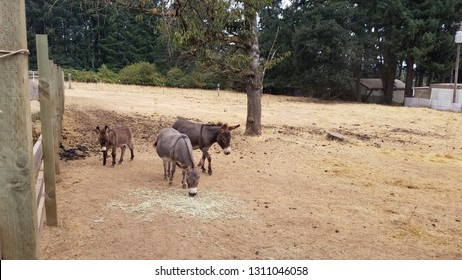 miniature donkeys in enclosure with poop and brown grass
