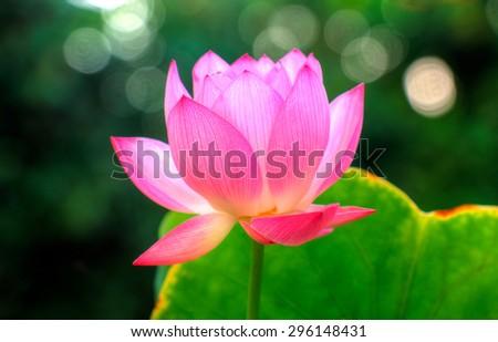 Miniature exotic lotus flower bokeh background stock photo edit now miniature exotic lotus flower with bokeh in the background flower of the buddhism religion mightylinksfo