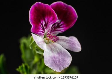 miniature geranium flower closeup