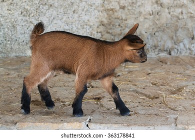 Miniature Goats affectionate friendly easy to train
