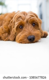 miniature golden doodle laying down looking relaxed