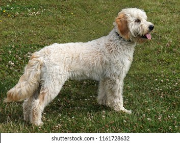 Miniature Goldendoodle (cute, dog, pet, pets, profile, domestic, handsome,  golden, doodle, dog, happy, goldendoodle, poodle, outdoor, breed, pet, canine, best)