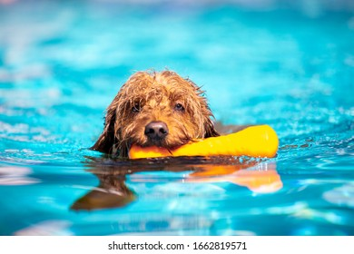 Miniature goldendoodle dog swimming and fetching toy in a salt water pool.