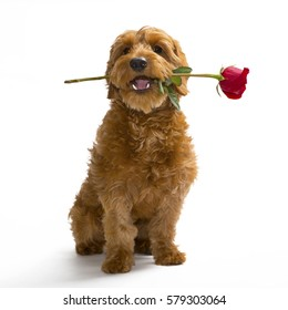 Miniature Goldendoodle puppy holding a rose in her mouth. Set against a white background