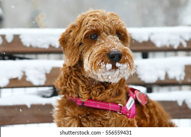 A miniature goldendoodle sitting in the snow with snow on her nose