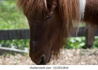 Miniature Horse - Brown