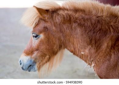 A miniature horse Brown