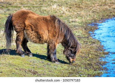 MIniature horse grazes on grass near Harrison, Idaho.