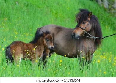 Miniature horse portrait in meadow