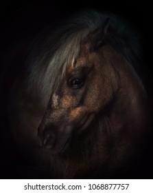 miniature horse portrait on dark background