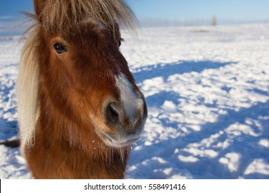A miniature horse in a snowy pasture