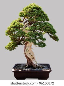 Miniature japanese bonsai tree isolated against grey and standing in small pot
