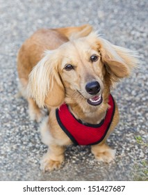 miniature long haired dachshund
