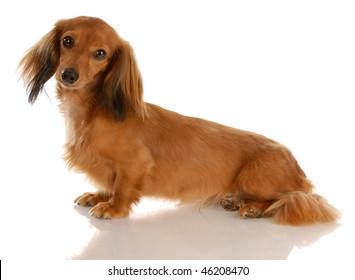 mini weiner dog