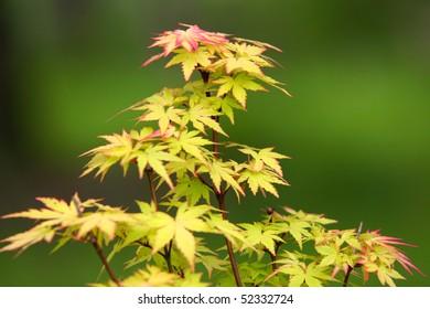 miniature maple tree, very shallow depth of field