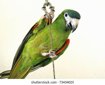 Miniature Noble Macaw