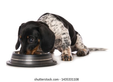 Miniature piebald dachshund drinks water isolated on white