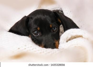 Miniature piebald dachshund lying on a blanket
