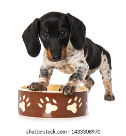 Miniature piebald dachshund standing on a food bowl