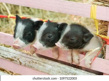 Miniature pigs - Juliana
