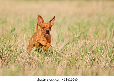 Miniature Pinscher 1 year old Prager Rattler Prague Ratier  were bred in Czechoslovakia for the rat's hunt and are enormously quick and agile. By a size of only 20-23 cm they belong to the small dogs