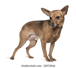 Miniature pinscher, 6 years old, standing in front of white background