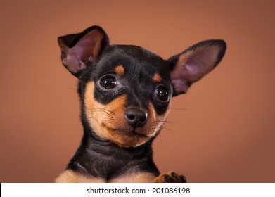Miniature Pinscher dog breed shot in a studio with brown background