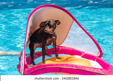 miniature pinscher dog floating in the swimming pool on a toddler flotation device
