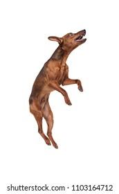 Miniature Pinscher dog jumping up on a white background