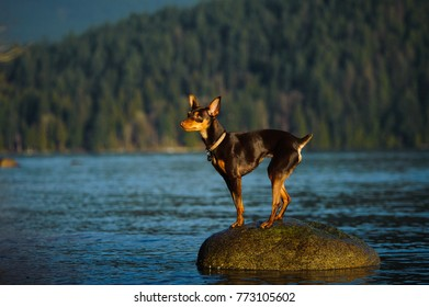 Miniature Pinscher dog outdoor portrait standing on rock out in water