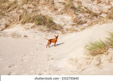 Miniature Pinscher dog outdoor walking on sandy beach.