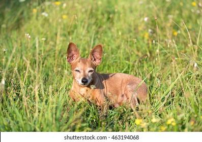 Miniature pinscher dog resting in green grass