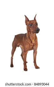 Miniature Pinscher. Isolated on white background