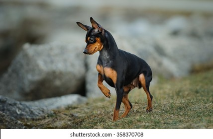 Miniature Pinscher looking at something in the rocks