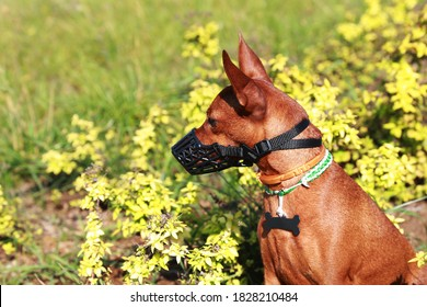 A miniature Pinscher in a muzzle looks away, against the background of nature. The dog is wearing a muzzle on a walk. Portrait. Concept: the training of the dog.
