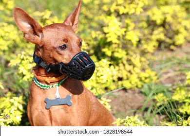 Miniature Pinscher in a muzzle on the background of nature. The dog is wearing a muzzle. Portrait. Concept: safety and rules of dog walking.