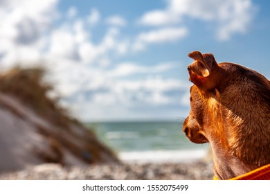 Miniature pinscher observing what is going on at the beach.