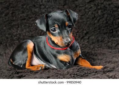 The Miniature Pinscher puppy, 2.5 months old