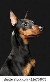 The Miniature Pinscher puppy, 6 months old