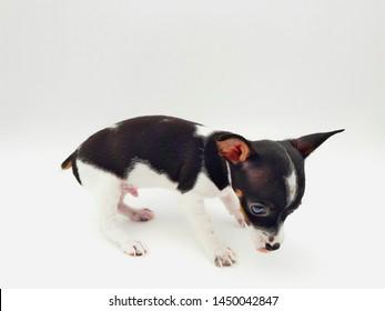 Miniature Pinscher puppy, on white background