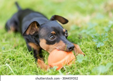 Miniature Pinscher puppy playing with a ball in the grass