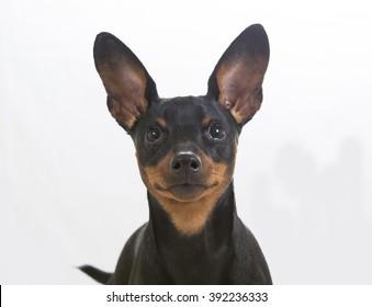 Miniature pinscher puppy portrait. Image taken in a studio.