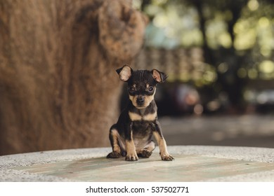 Miniature Pinscher puppy sit on a marble table.