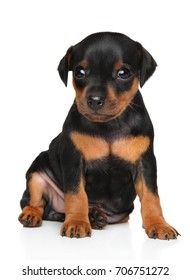 Miniature Pinscher puppy sits on a white background