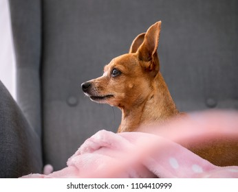 Miniature pinscher sitting on couch. Small dog in the house. Small dog on couch.