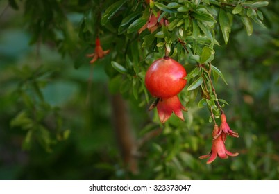 Miniature Pomegranate - Punica Granatum - tropical fruit growing on a tree