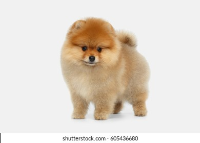 miniature Pomeranian Spitz puppy standing on white background, front view